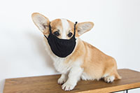 Brown and white corgi do sitting on a wooden counter wearing a black mask